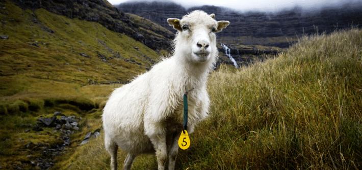 Titelbild Schaf