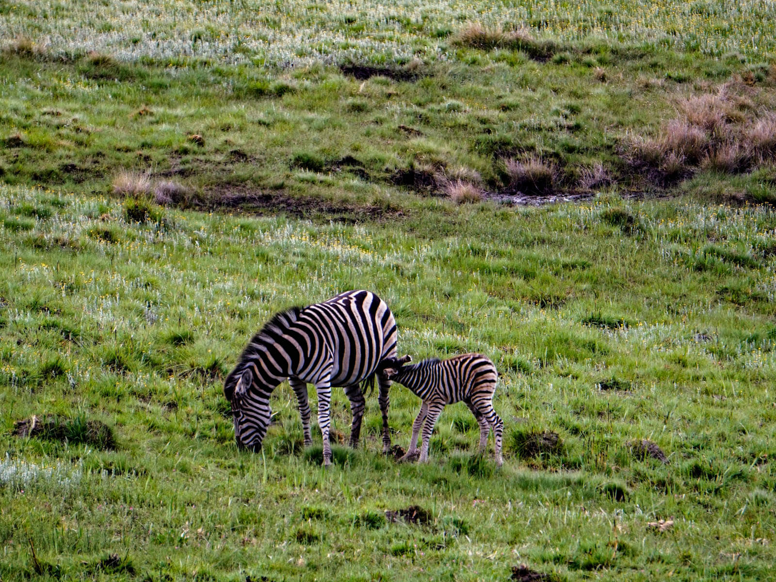 Zebras im Golden Gate Highlands National Park