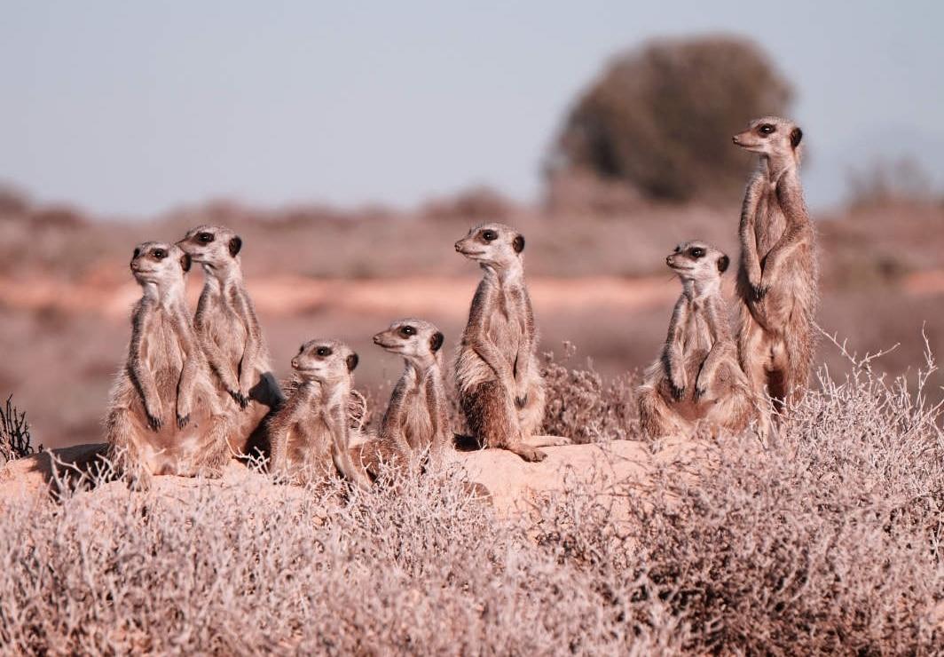 Erdmännchen in der Karoo