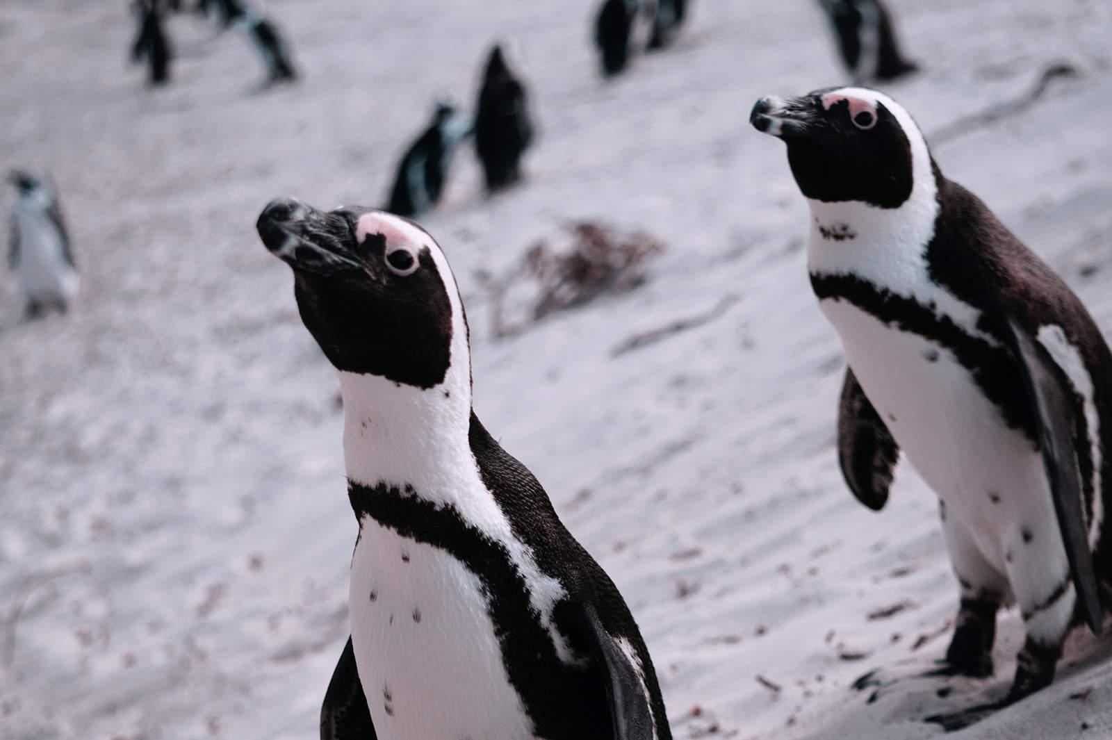 Neugierige Pinguine