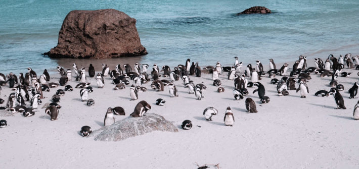 Pinguine in Suedafrika