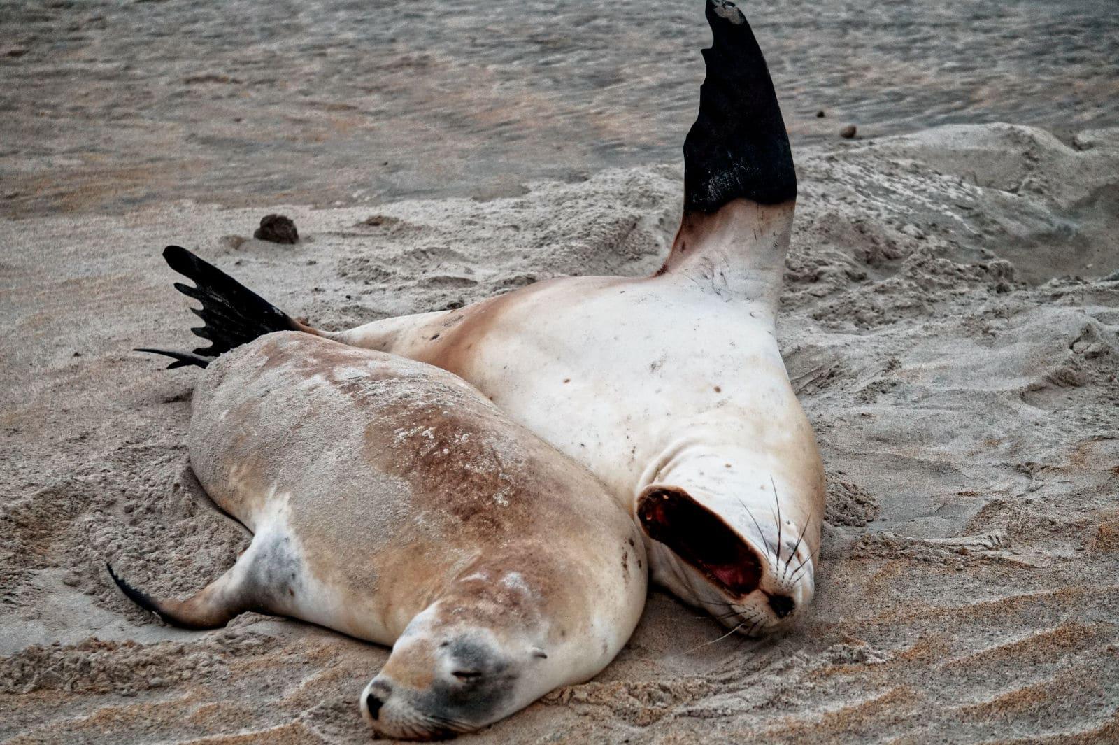Seelöwen in der Sandfly Bay bei Dunedin